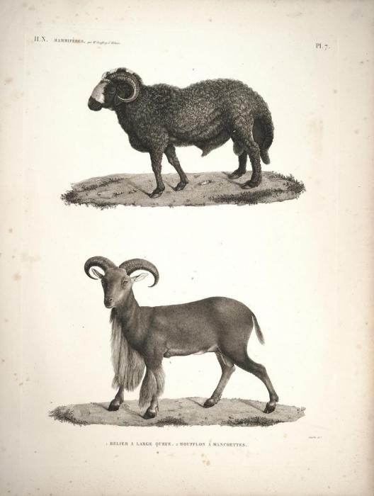 Carnero y muflón