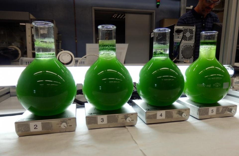 Cultivar algas como fuente de energía renovable
