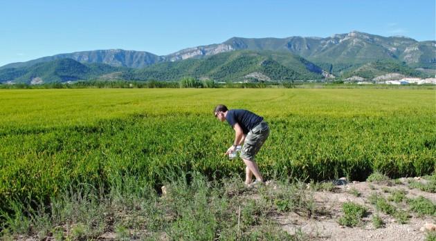 Un investigador del equipo de Carbonell toma muestras en un arrozal