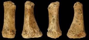 Vistas del metatarso neandertal hallado en Jarama VI