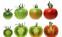 Diferentes pigmentaciones en función del nivel de GLK2