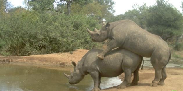 Rinocerontes apareándose