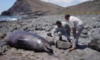 Un cetáceo muerto en Fuerteventura.