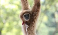 Uno de los gibones de manos blancas del zoo de Fukuchiyama.