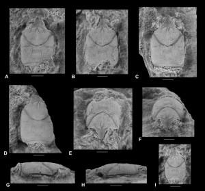 Hispanigalathea pseudolaevis