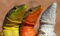 Lagartijas de colores