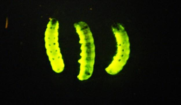 larvas de polilla