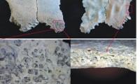 Arriba, los fragmentos del parietal del niño de Olduvai. Abajo, las lesiones interpretadas como anemia.