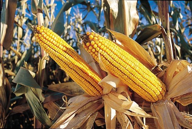 Maíz transgénico de la empresa estadounidense Monsanto