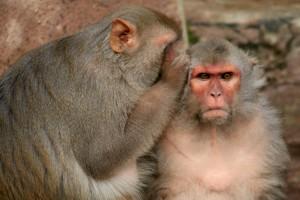 Dos macacos como los utilizados en la investigación