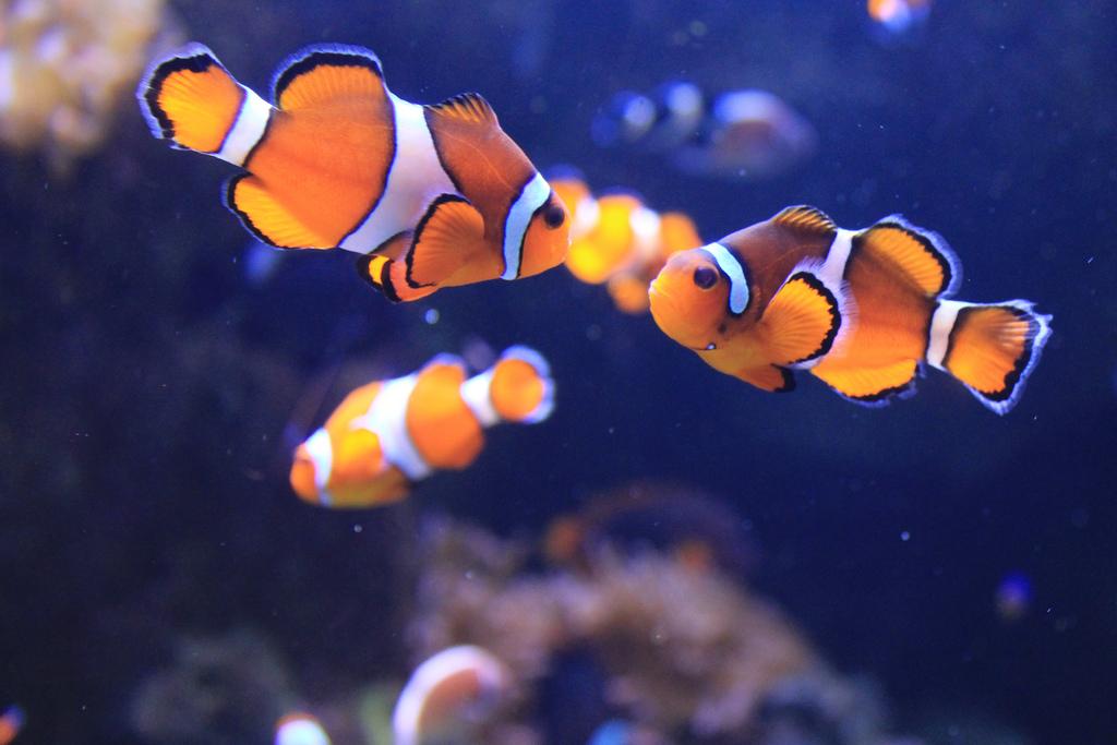 Los peces payaso ri en a voces para evitar agresiones for Como se cultivan los peces