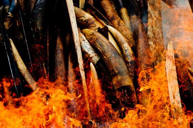 Colmillos de elefante capturados a un grupo de cazadores furtivos de Gabón.