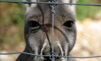 Hay varios millones de canguros gigantes en el oriente de Australia