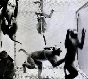 Experimento de Delgado para aumentar la agresividad en monos con implantes cerebrales