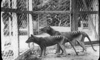 Tigres de Tasmania