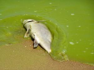 Un pez muerto en las aguas contaminadas del lago Erie, en agosto de 2011