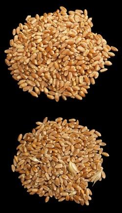 Arriba, trigo con gluten; abajo, sin gluten