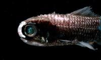 Un pez linterna, el vertebrado más abundante del planeta
