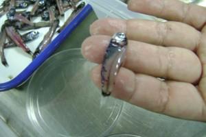 Imagen en la que se aprecia el tamaño de un pez linterna