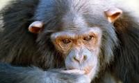Nueve chimpancés fueron capaces de recordar un experimento
