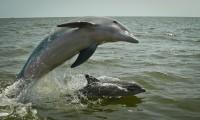 El silbido identifica a los delfines dentro del grupo y funciona como su nombre.