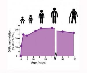 Aumento de la metilación del ADN hasta el final de la adolescencia