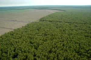 Plantación de acacias de APP a medio cosechar