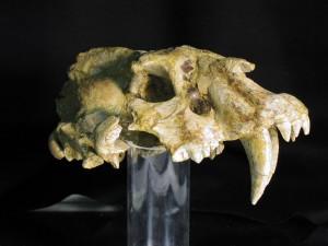 Cráneo de dientes de sable desenterrado en Incarcal en 1985
