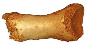 Huesos del pie donde se ha extraido el ADN neandertal.