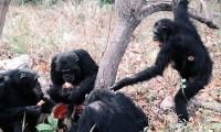 Varios chimpancés del clan Kasakela come los restos de un mono colobo rojo.