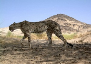 Un guepardo sahariano fotografiado en Argelia