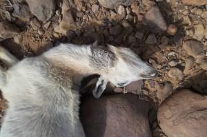 """Una de las cabras """"matadas por la manera típica de los guepardos"""" halladas en el Sahara Occidental"""