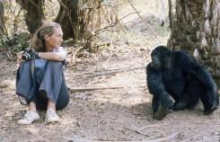 Jane Goodall junto a un chimpancé de Gombe en la época de sus primeros descubrimientos.