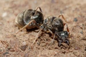 Una hormiga reina fertilizada.