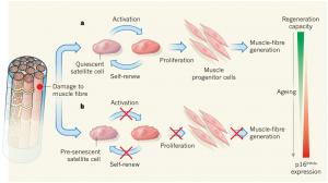 Células madre musculares