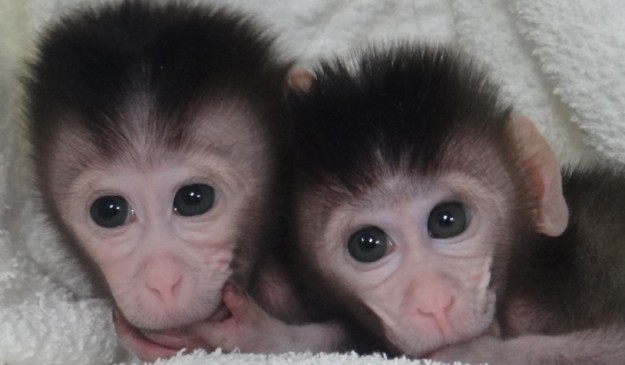 Macacos en los que se ha probado la técnica de copiar y pegar ADN