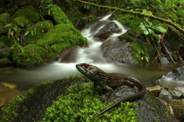 Una nueva especie de lagarto descubierta en la reserva del Manu