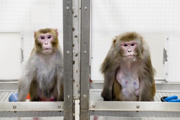 Dos macacos rhesus como los utilizados en el experimento. / U. de Wisconsin/Jeff Miller