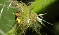 Un gusano de la raíz (rootworm)