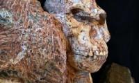 Cráneo de 'Little Foot' en las cuevas de Sterkfontein (Sudáfrica)