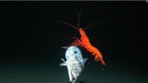 Un pez y una gamba roja, en torno a un cebo.