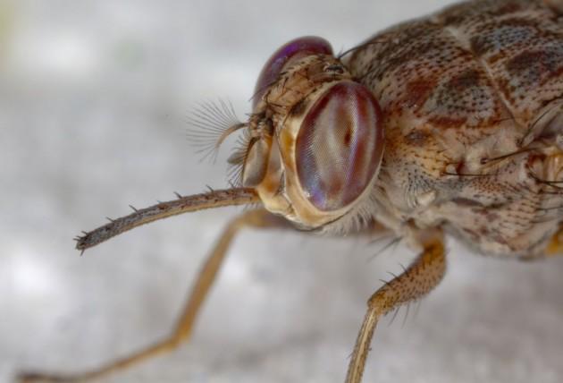 Una mosca tse-tse