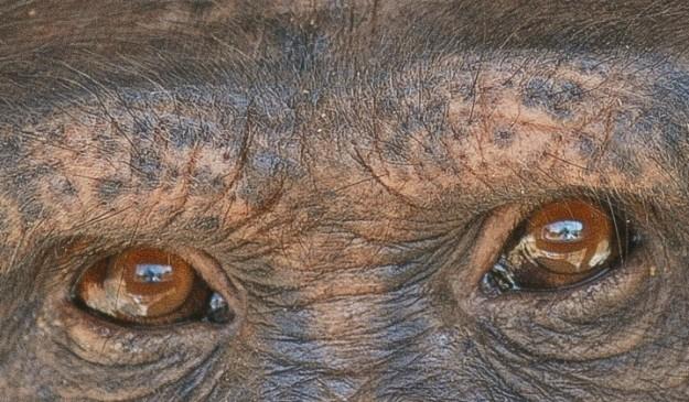 Un chimpancé del centro de primates de la Universidad de Luisiana