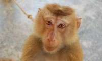 Un macaco como los empleados para regenerar sus corazones