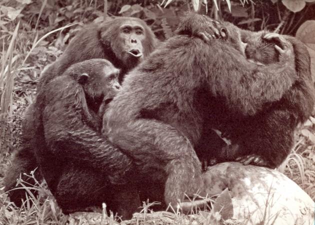 Imagen inédita de archivo, con el chimpancé Humphrey en el centro y un grupo de machos en la época de los asesinatos.