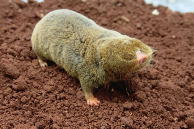 Una rata topo ciega