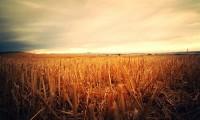 producción trigo España