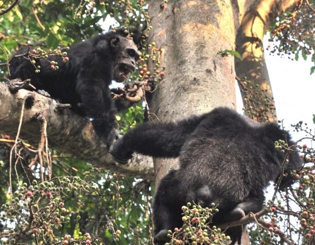 Dos machos del grupo de Mahale, en Tanzania.