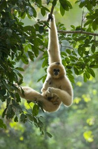 El gibón es un pequeño simio del sudeste asiático