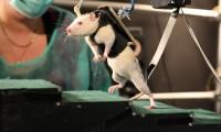 Una rata parapléjica camina en el laboratorio de Grégoire Courtine